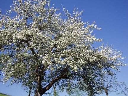 Und noch einmal: Apfelblüte