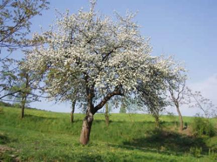 Blühender Boskopbaum