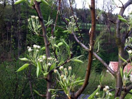 Birnbaumblüte 2013
