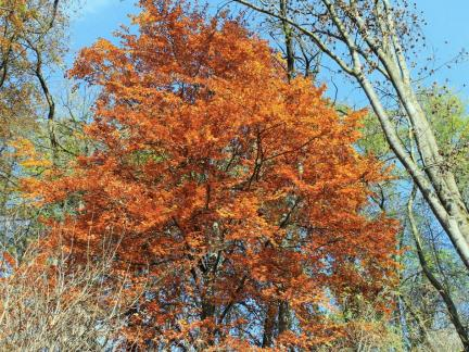 Buche im Herbstlaub