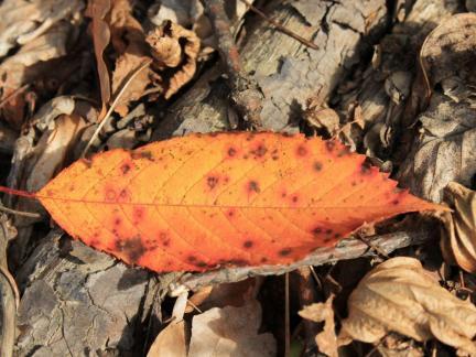 Herbstblatt Kirschbaum