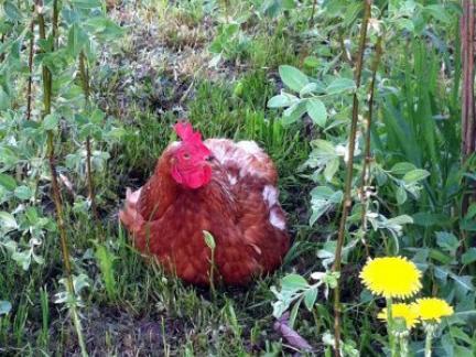 Huhn unter der Weide