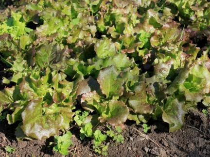 Salat satt (selbst aus Samen gezogen)