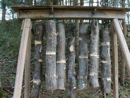 April: Die geimpften Stämme werden gewassert u. aufgehängt