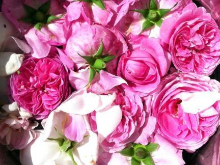 Blüten der Rosa Bourbonica