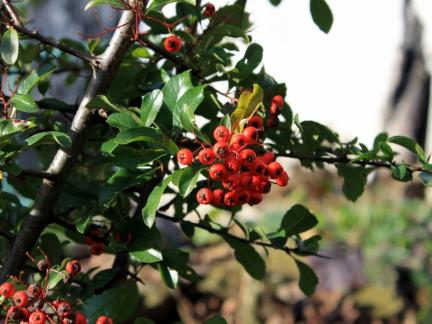 Rotdorn mit Früchten
